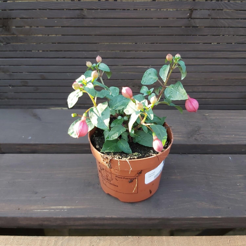 Fuchsia - Various