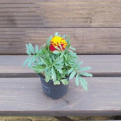 French Marigold - Various Colours