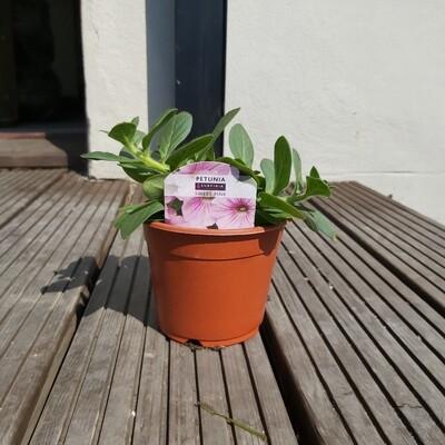 Petunia - Sufinia - Sweet Pink