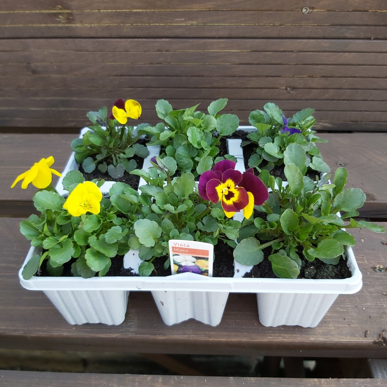 Viola - Mixed colours - 6 pack