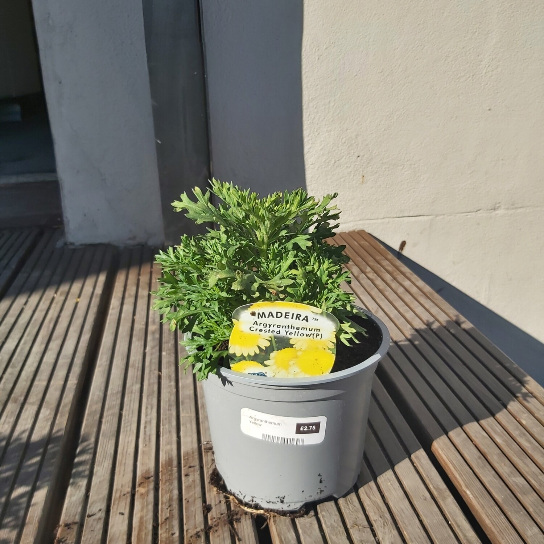 Argyranthemum - Yellow
