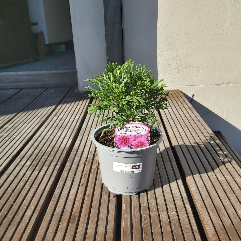Argyranthemum - Pink