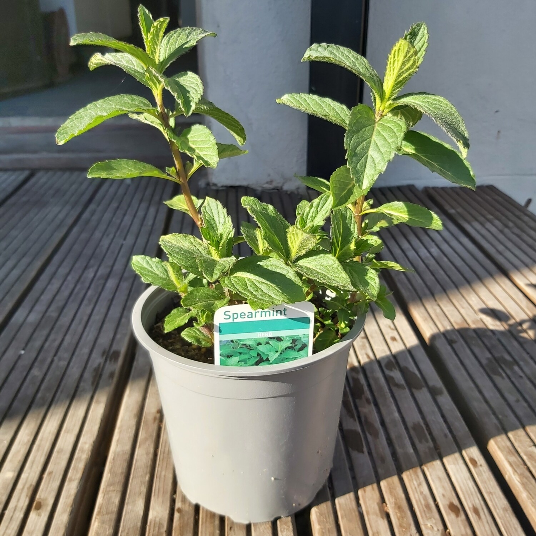 Mint - Spearmint