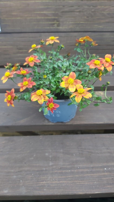 Bidens - Orange