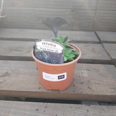 Petunia - Black Velvet