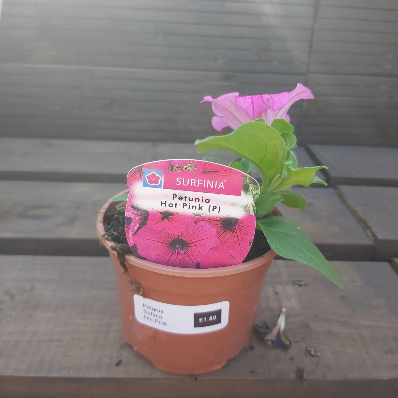 Petunia - Sufinia - Hot Pink