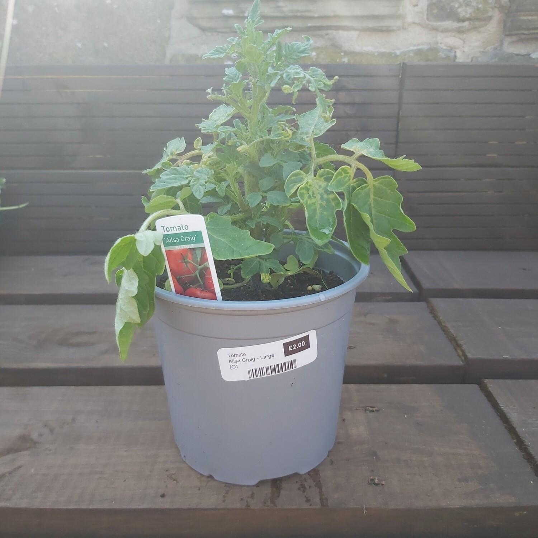 Tomato Plant - Ailsa Craig - Large