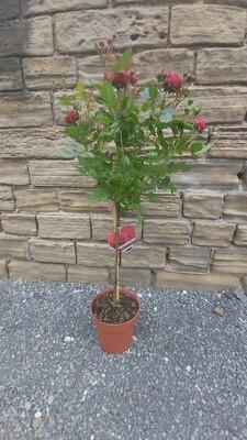 Rose - Large