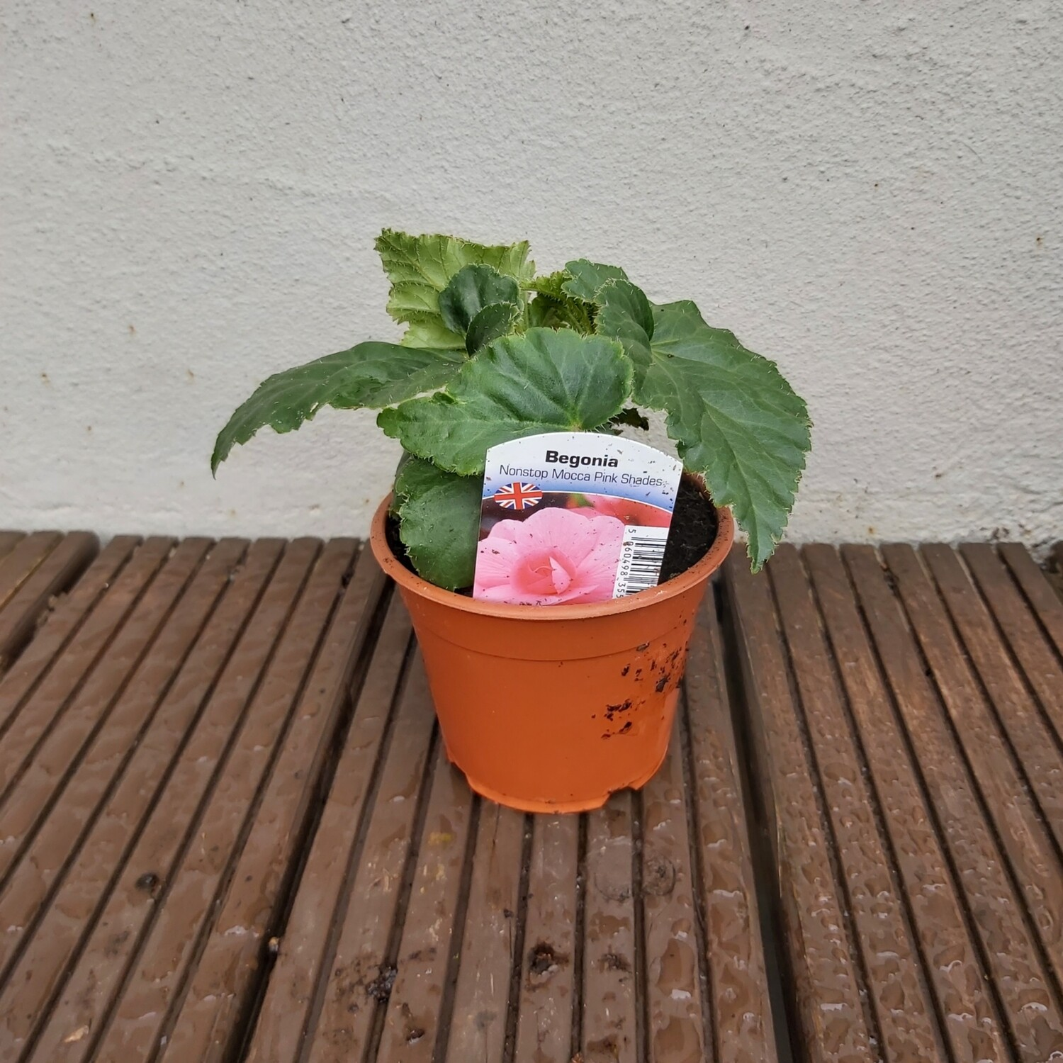Begonia - Upright - Non-stop