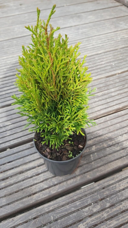 Conifer - Small