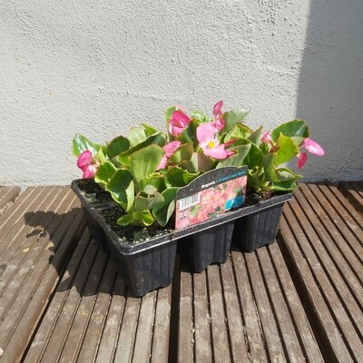 Bedding Begonia 6 Pack - Upright - various colours