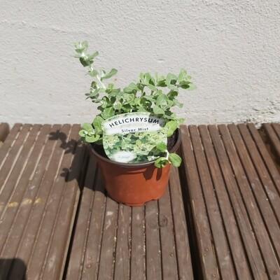 Helichrysum - Silver Mist