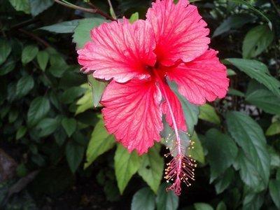 Hibiscus coconut oil