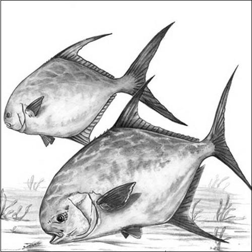 Steve Whitlock 'Permit Pencil Illustration'