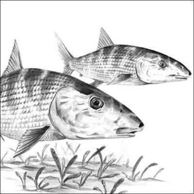 Steve Whitlock 'Bonefish Pencil Illustration'