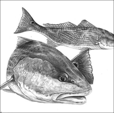 Steve Whitlock 'Redfish (Red Drum) Pencil Illustration'