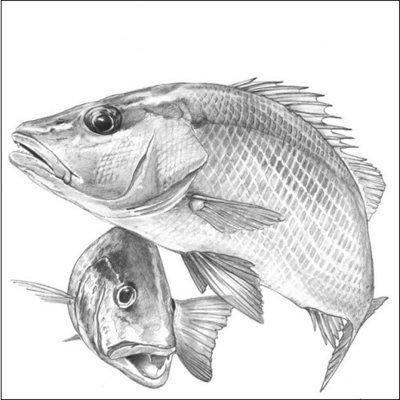 Steve Whitlock 'Gray Snapper Pencil Illustration'