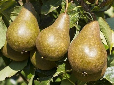 American pear (.290kg)