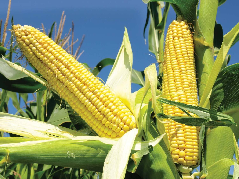 Chilliwack Corn!