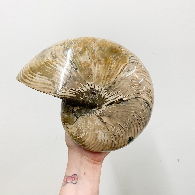 XL Polished Nautilus Fossil