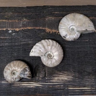 Unpolished Ammonite Fossils - Pack of 3