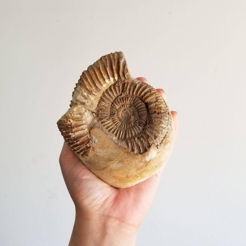 Natural Ammonite Display Piece