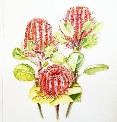 Banksia Coccinea - Scarlet Banksia UNFRAMED