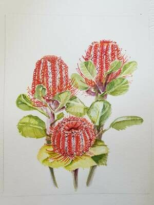 Banksia Coccinea - Scarlet